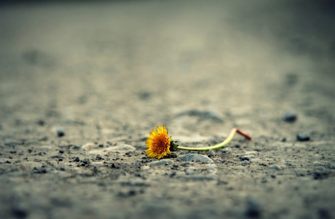 Image of wilting flower to represent suffering in the Bible